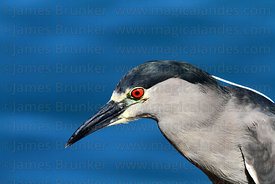 Adult black crowned night heron (Nycticorax nycticorax hoactli) portrait