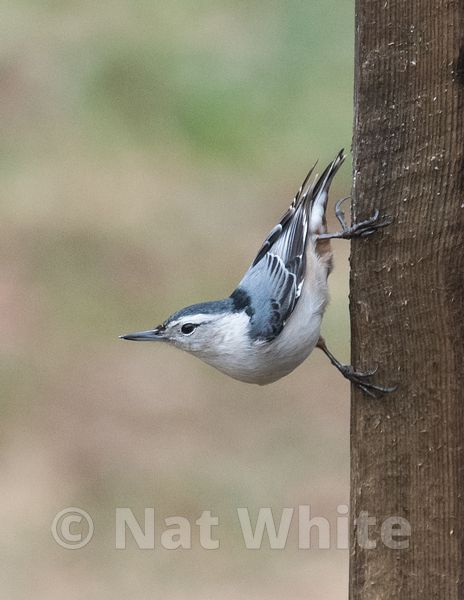 Canyon_Farm_Nuthatch_-8414_January_02_2019_1_500_sec_at_f_4.0
