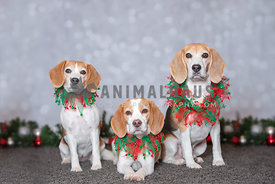 3 beagles wearing Christmas collars posing in the studio