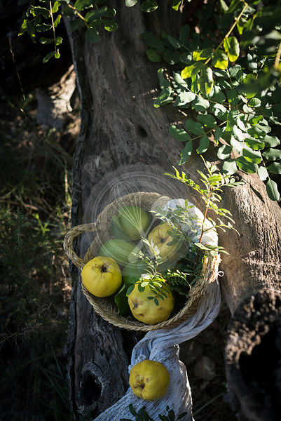 A basket of quimces and lemons on a tree