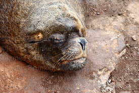 Male South American sea lion (Otaria flavescens) sleeping