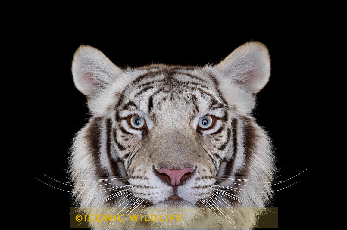 ICONIC WILDLIFE | White Tiger