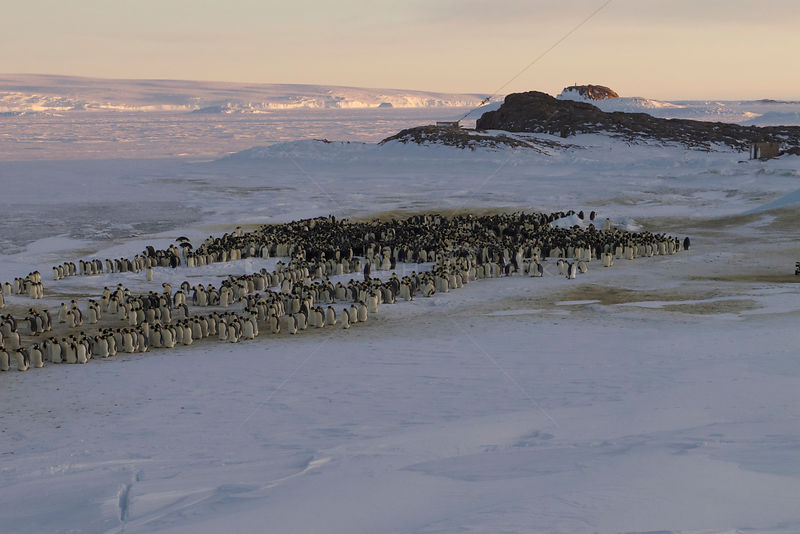 Procession of male Emperor penguins (Aptenodytes forsteri) shuffling, Antarctica, July.