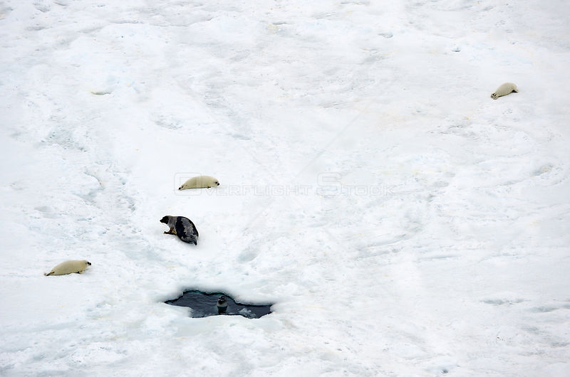 Aerial view of Harp seal (Phoca groenlandicus) female and pups hauled out on sea ice, Magdalen Islands, Gulf of St Lawrence, Quebec, Canada, March 2012