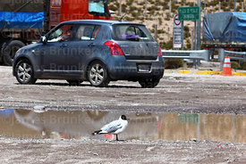 Adult Andean gull (Larus or Chroicocephalus serranus) in summer / breeding plumage next to main road