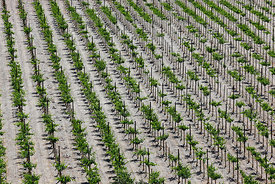 Aerial view of rows of vines and poles, Copiapó Valley, Region III, Chile
