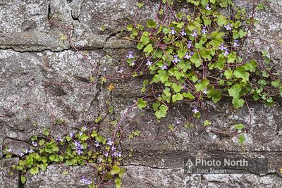 TOADFLAX 03A - Ivy-leaved toadflax