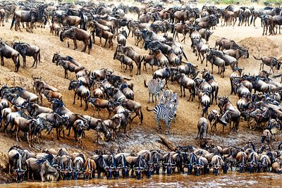 Zebra in Crowd of Wildebeest
