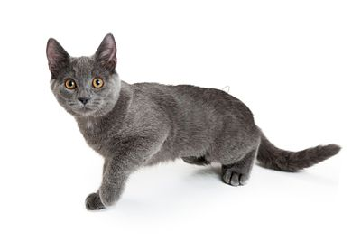 Young Gray Kitty Walking Forward