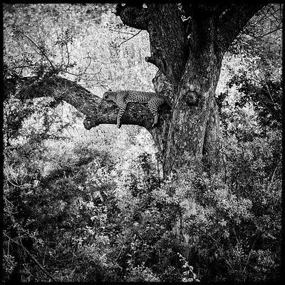 7599-Tired_leopard_in_a_tree_Laurent_Baheux