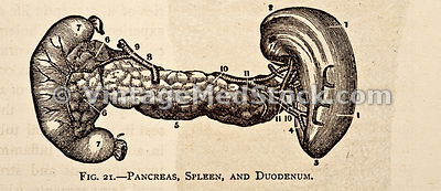 Pancreas, Spleen, and Duodenum