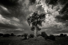 Baobag Tree with Storm Clouds
