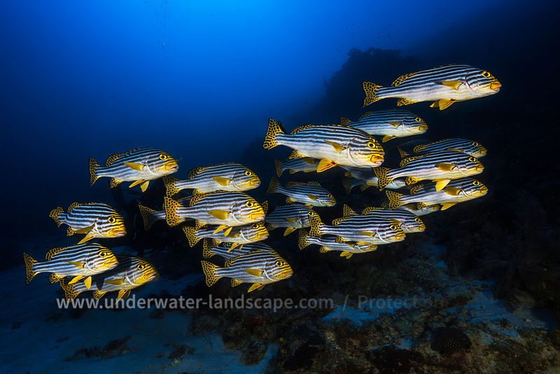 Photo sous marine- Banc de poissons Gaterin rayes
