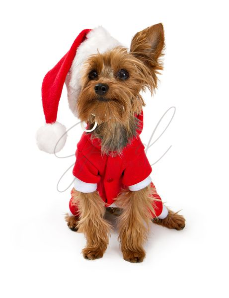Yorkshire Terrier dog wearing a santa suit