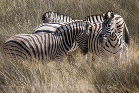 Burchells zebra, Equus burchelli antiquorum, Etosha National Park, Namibia; Landscape