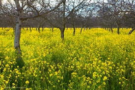 Walnut Orchard with Mustard #1