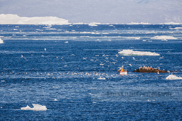 A Greenlandic fisherman sailing his boat in the Disko Bay is followed by countless birds trying to catch a small meal