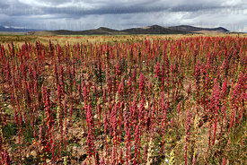 Field of red quinoa plants ( Chenopodium quinoa ) growing on altiplano with stormy sky , Bolivia