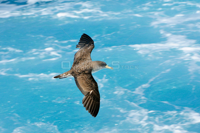 Cory's shearwater (Calonectris diomedia) in flight over sea, between Isle of Lesbos / Lesvos, Greece and Turkey.