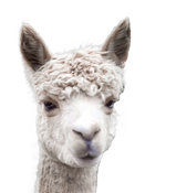 Close-up of Alpaca