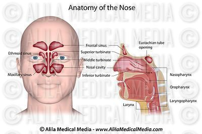 Nose anatomy labeled.
