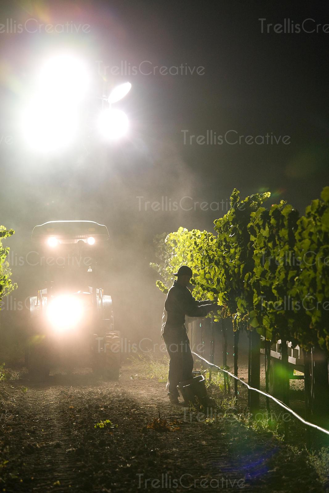 trellis lighting. Tractor Lights Illuminate A Carneros Vineyard During Midnight Grape Harvest Trellis Lighting E