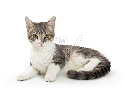 Grey and White Tabby Kitten Lying Over White