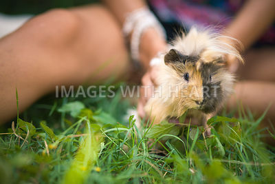 long hair guinea pig in grass with person