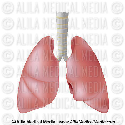 Human lungs isolated on white