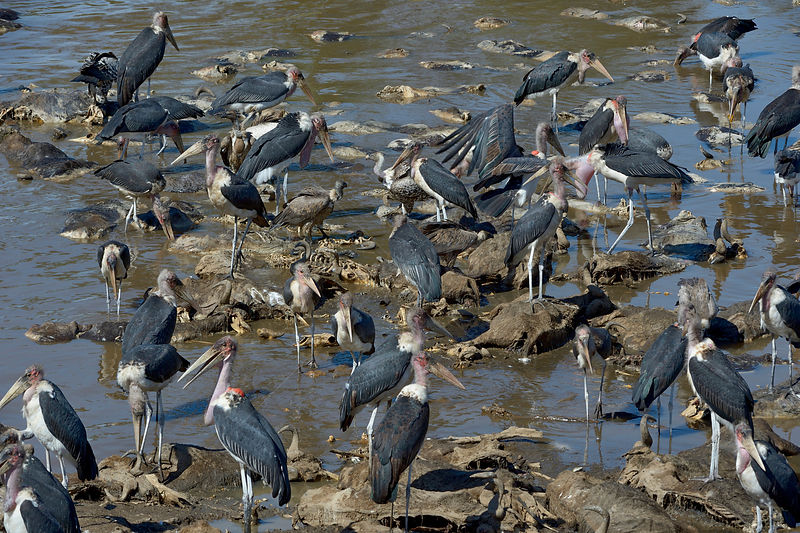 Marabou storks (Leptoptilos crumeniferus) scavenging Wildebeest carcasses in the river, after the migration, Samburu, Kenya, October.
