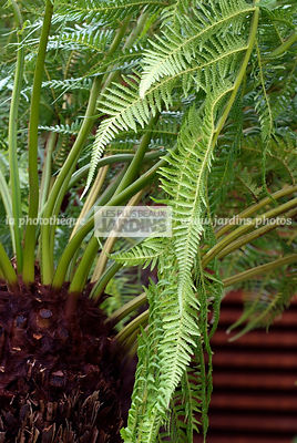 Jardin tropical : Dicksonia antarctica (fougère arborescente), Soft Tree Fern, Man Fern, Feuillage semi-persistant. Paysagiste : Sim Flemons et John Warland (FlemonsWarlandDesign), CFS, Angleterre