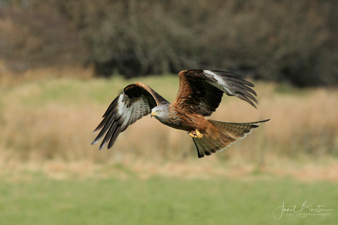 Red kite carrying food