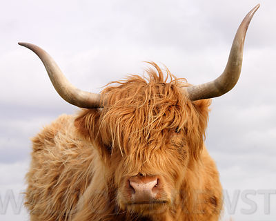 Highland_Cow_One