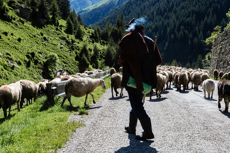 Shepherd Herding his Sheep along the Transfagarasan Highway