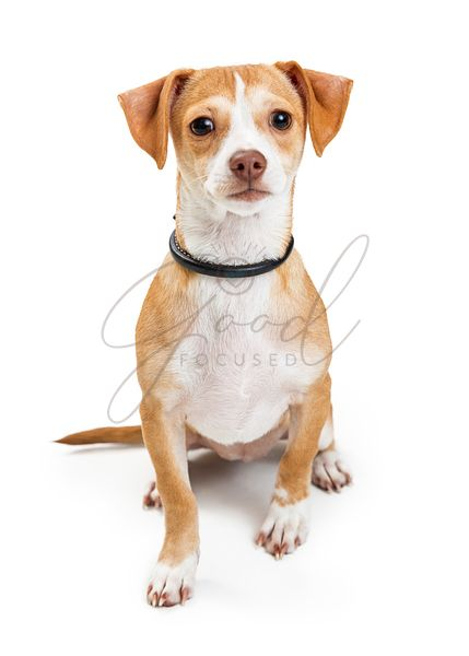 Cute Crossbreed Chihuahua Dog Sitting Looking Forward