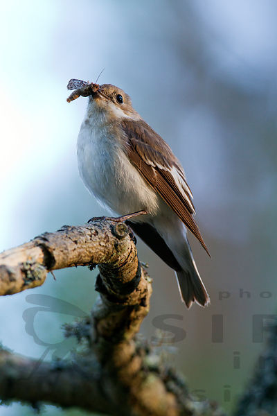 Female Pied Flycatcher