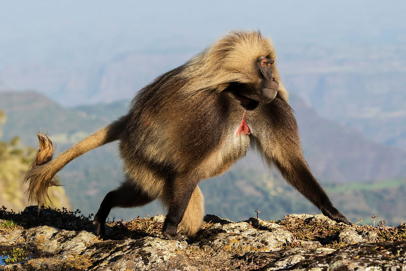 Make Gelada Baboon Running in Cliff Edge