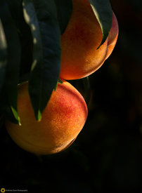 Ripe Peaches on the Tree #1