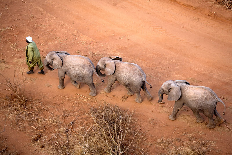 Aerial of orphaned elephants (Loxodonta africana) following a keeper while walking in Tsavo National Park. Near David Sheldrick Wildlife Trust Nairobi Elephant Nursery, Kenya, August 2008.