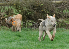 Cottesmore hounds