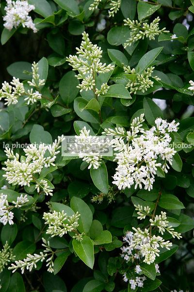 la phototh que les plus beaux jardins ligustrum ovalifolium tro ne de californie oleaceae. Black Bedroom Furniture Sets. Home Design Ideas