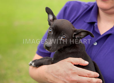 Male black Chihuahua mix  held in woman's arms