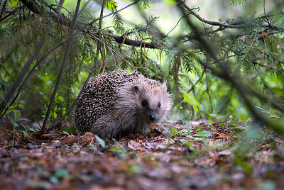 Hedgehog - Erinaceus europaeus photos