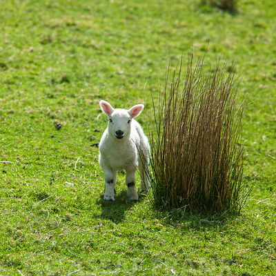 Lamb photos