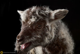 Lamb Portrait #1