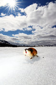 Norway lemming - Lemmen