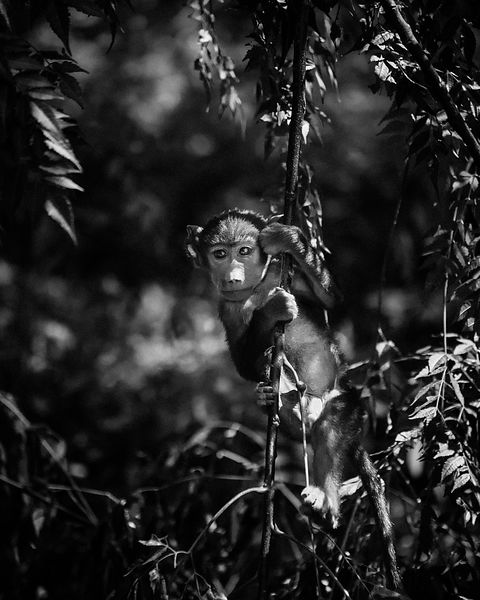 4685-The_very_small_baboon_Laurent_Baheux