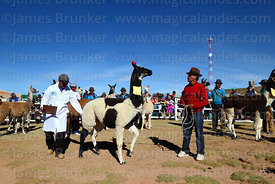 Judge checks the testicles of a male llama during competition, Curahuara de Carangas, Bolivia
