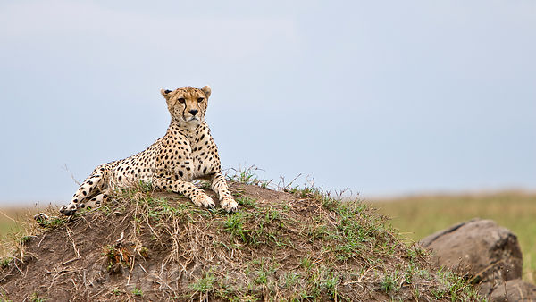 Cheetah on a mound, Acinonyx jubatus, Masai Mara National Reserve, Kenya; Landscape