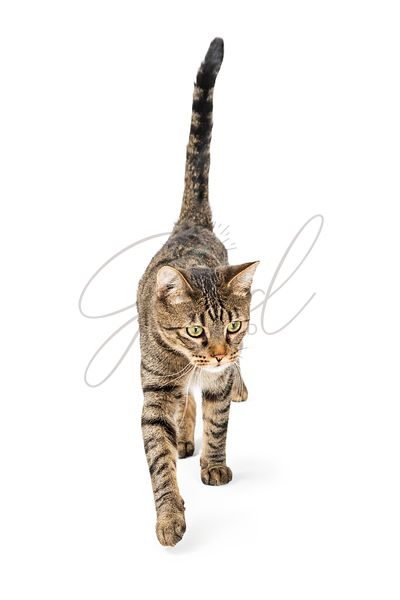 Young Tabby Cat Walking Forward on White